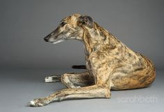 Greyhound Pets of America -- rescue the retired racers!