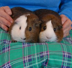 Bing & Burgess are outgoing, very friendly young brothers debuting for adoption today at Nevada SPCA (www.nevadaspca.org). The boys are American breed guinea pigs, about 18 months of age, and so strongly bonded that they need to remain together forever. Bing & Burgess enjoy people and don't mind being handled. Please ask for the boys by name in our Lovebugs Room.