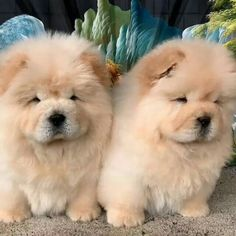 Cute Baby Dogs, Cute Little Puppies, Cute Dogs And Puppies, Cute Little Animals, Cute Funny Animals, Pet Dogs, Fluffy Dogs, Fluffy Animals, Animals And Pets