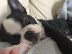 So precious! You can almost feel how soft this Bostie is...oh my goodness! ~Debbie
