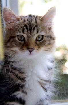 Cute Cats And Kittens, Cool Cats, Kittens Cutest, I Love Cats, Funny Kittens, Pretty Cats, Beautiful Cats, Animals Beautiful, Pretty Kitty