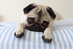 Cute pug puppy, sweet face