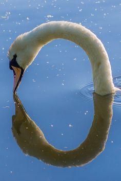 ♥ Swan Reflection..