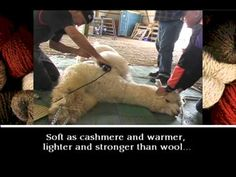 Alpaca Shearing & Fiber Processing obviously doesn't hurt the alpacas, but what a cool process!