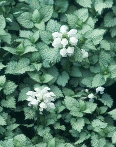deadnettle (Lamium maculatum) 'White Nancy', mature size 6 inches tall and 3 feet wide, tolerates part to full shade, moist, well-drained soil Dry Shade Plants, Shade Tolerant Plants, Cool Plants, Drought Tolerant, Garden Shrubs, Shade Garden, Garden Plants, Garden Landscaping, Moon Garden