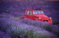 Lavender fields in Provence,France Lavander, Lavender Blue, Lavender Fields, Lavender Flowers, Lavender Cottage, Purple Flowers, Beautiful Flowers, Beautiful Places, Beautiful Pictures