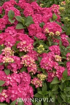 Pink Elf® French Hydrangea                                                                                                                                                                                 More