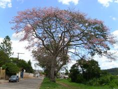 A Paineira é uma árvore-monumento, belíssima nas 4 estações do ano !