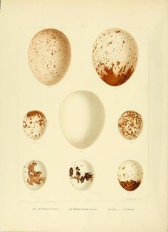 Eggs from Golden Eagle, White-tailed Eagle and SparrowHawk. Plate from 'British Birds With Their Nests and Eggs' by Arthur G. Butler  [and others]. Illustrated by F. W. Frohawk. Published 1896.