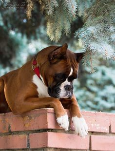 Play with him this boxer needs a friend!