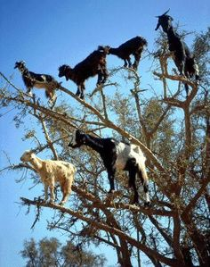 Tree Climbing Goats... really!