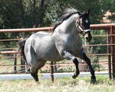 http://www.horseforum.com/attachments/46345d1289829357-post-pics-your-fave-coat-colour-blue-roan.jpg