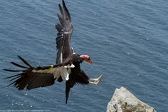 Images of California condors, whales, dolphins and Big Sur vistas Images Of California, California Condor, Birds Of Prey, Big Sur, Dolphins, Bald Eagle, Whale, Art Projects, Vulture