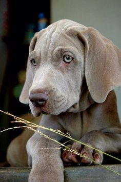 Adorable puppy! Weimaraners are the best!
