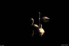 """Clair-Obscur"", photo by Camille Poirot (Cygnes tuberculés, France)"
