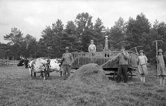 People loading hay on a cart pulled by cows. Lekaryd, Småland. Mårten Sjöbeck, 1930s.