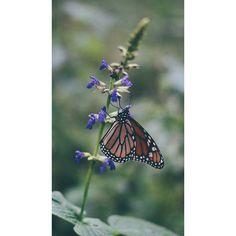 Las #MariposasMonarcas en #Michoacan hermosas lastima que me tocó un #día #nublado y no vuelan pero un hermoso #paisaje  ------------------------------------------------ #vsco #butterfly #naturaleza #nature #Sony #sonyalpha #soysony