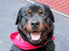 Manhattan Center GRIZZ – A1043770 MALE, BLACK / BROWN, ROTTWEILER MIX, 1 yr, 9 mos OWNER SUR – EVALUATE, NO HOLD Reason MOVE2PRIVA Intake condition UNSPECIFIE Intake Date 07/12/2015