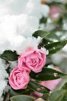 pink roses in winter