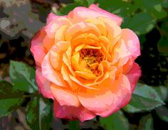 Orange and Pink Rose Posterized by Mary Sedivy.