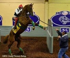 Kentucky Derby and Preakness Stakes Winner California Chrome being uneasy during his schooling for the 2014 Breeder's Cup Championship