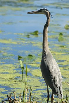 Great Blue Heron by ~1ladybug~Off and On, via Flickr