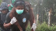 An unconscious orangutan is being carried on the shoulders of an activist, Please sign the Petition..