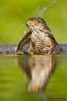 Eurasian Sparrowhawk in Hungary