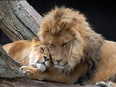Lion and lioness..anyone with 1/2 a brain...