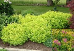 """Spirea Golden Mound Height 18-24"""" Spread 2-3' Full Sun-Part Shade Fall Red tinged Gold foliage emerges in early spring then eventually turns gold green. Clusters of small pink flowers appear appear in June-July."""