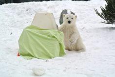 Drumroll please...  #INeedAName #Humphrey #polarbearcub #polarbear #torontozoo #cute #animals #now #winter
