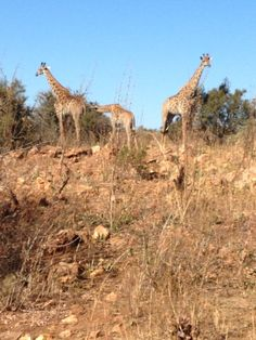 Have you ever been on a Safari in South Africa? South Africa, Giraffe, Safari, To Go, Places, Animals, Giraffes, Animales, Animaux