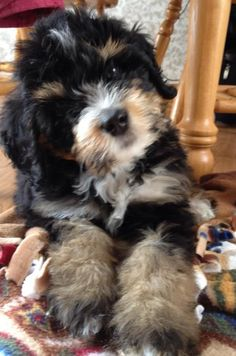 Bernedoodle, Bernese Mountain Dog and Poodle Mix - SpockTheDog.com #BerneseMountainDog