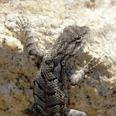 Eastern Fence Lizard - Photo by Alan Wiltsie