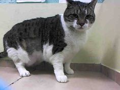 NYC ** Dear Girl Must Wonder Why ** TO BE DESTROYED 02/25/15 SPARKLE lived with one single person & a solitary existance & now to be brought here - she's not being very social. ID #A1028223. Spayed female brn tabby & white about 6 YEARS old. OWNER SUR  reason stated was COST.  https://www.facebook.com/nycurgentcats/photos/a.960362520648402.1073742604.220724831278845/960362563981731/?type=3&theater