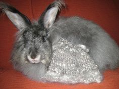 Satin German Angora Rabbit 'Duchess' fiber 1 oz by cashmerebunny, $10.00