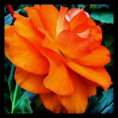 Begonia by Susan Bell