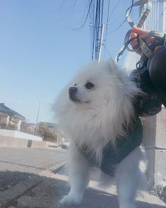 今日の散歩🐶 . . 오늘 산책👍👍✨ . . #fun#likes#pet#love#daily#japan#tokyo#dogstagram#dog#DoggytheWorld#pomeranian#pomeranianworld#dogoftheday#photography#犬#日常#ポメラニアン#愛犬#老犬#11歳#ふーちゃん#포메라니안#일본#도쿄#좋아요#애견#데일리룩#일상#개스타그램