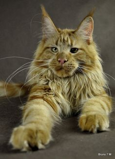 Big handsome boy Bruno, DE*BigGiants InsideOut. Shedoros Maine Coon cattery in Germany.