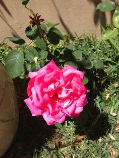Sweet Nymph amaryllis ~ Beau Jardin | CREATION DAY 3: Blooms, and ...
