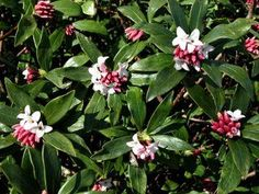 """""""Daphne"""" You smell it long before you see it.  Dark green leaves etched in white. Perfume from heaven. 3x3' Pt sun/shade. Deer resistant"""