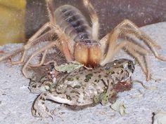 Camel Spider Vs Lizard