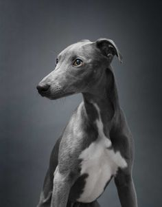 One day I will own a greyhound #love