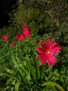 Brilliant Gerberas! Business Design, Flower Power, Landscape Design, Landscaping, Activities, Flowers, Plants, Floral, Plant