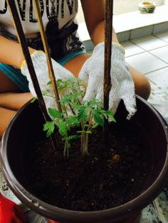 Nurul Alicia Bt Mohd Wazir - my tomato plant - 1 month old