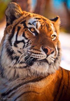 Bengal Tiger watching the sun set - Animal photography Bengalischer Tiger, Tiger Art, Bengal Tiger, Tiger Cubs, Bear Cubs, Tiger Illustration, Amazing Animals, Majestic Animals, Tiger Tattoo