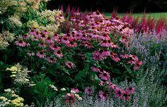 Piet oudolf planting at dreampark, enkoping, sweden: Echinacea purpurea 'magnus', calamintha nepeta,  astilbe chinensis var taquetii 'purpur...