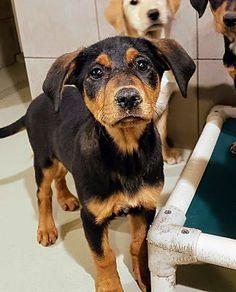 Chicago Il Doberman Pinscher Meet Wyla A Pet For Adoption Doberman Pinscher Pet Adoption Doberman