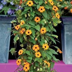 SUPER­STAR ORANGE Black-Eyed Susan Vine Seeds - 10 seeds - $3 Larger flowers and quick, vigorous-growth earns Superstar Orange Black-Eyed Susan Vine its celebrity status. Plants climb or trail to 5 ft. or more, are bejeweled in 2 in., black-centered, orange flowers. Use Superstar Orange to brighten trellises or hanging baskets, or plant in ground for sensational, small-scale, summer ground covers.