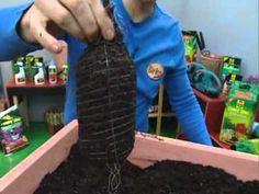 Cómo plantar frambuesas - YouTube